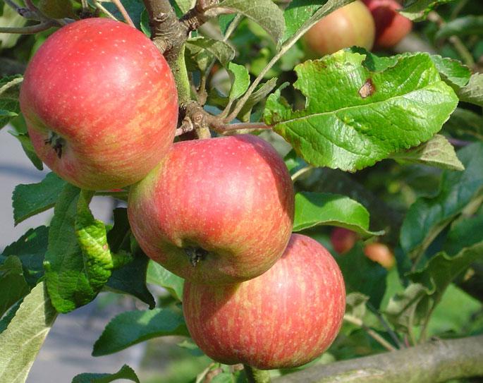 Mơ tháy quả táo điềm báo điều gì