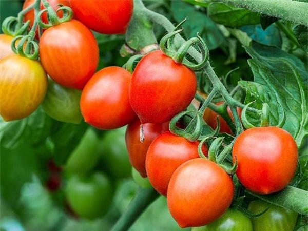Mơ thấy quả cà chua có ý nghĩa gì?