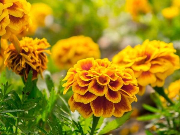 Mơ thấy hoa vạn thọ điềm báo lành hay dữ?